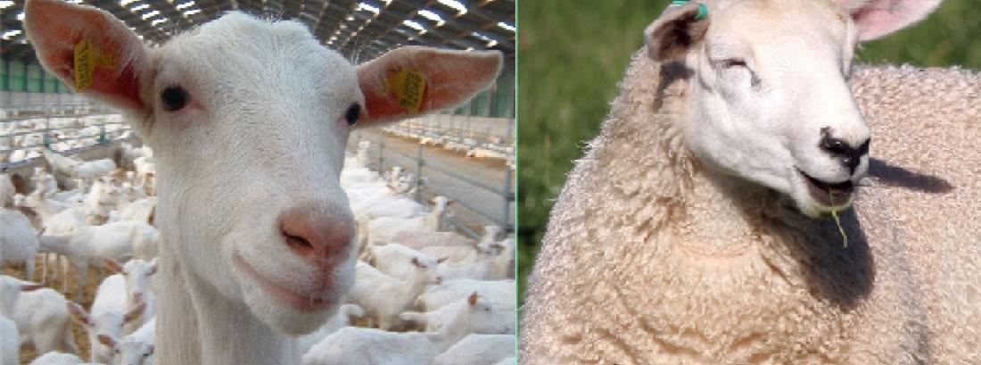 Comfort Geiten- en schapenverzorging